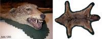 Coyote Skin - Animal Skin