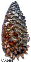 Conifer Pine Cone - Conifer Cone