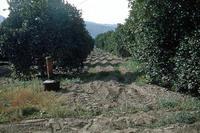Citrus Grove With Smudge Pot