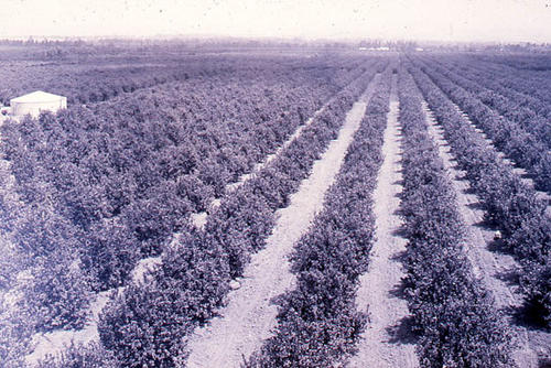 This slide shows a a large orange grove.  SLIDE CONDITION:  Good.  PRINT CALL No. AGR-cit-016a.
