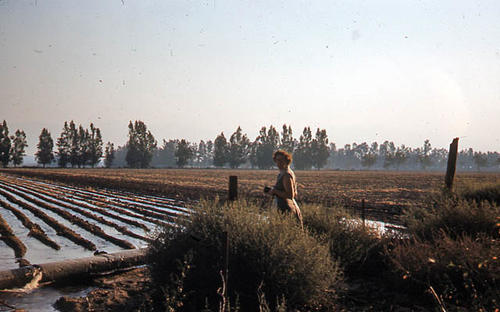 This slide is of a field on River Road being irrigated in October 1953.  An unidentified woman can be seen in the picture.  SLIDE CONDITION:  Good