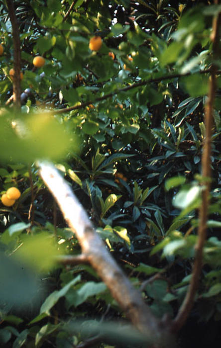 This slide is a close up of an orange tree.    SLIDE CONDITION:  Good
