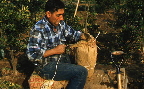This slide is of a grove worker tying burlap on a young tree.  SLIDE CONDITION:  Good.