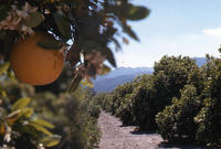 Citrus grove with mountains in the background