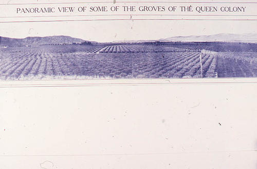 This slide is of a print showing a panoramic view of some of the Queen Colony groves.  SLIDE CONDITION:  The slide has a slight purple cast and the image is not real sharp.