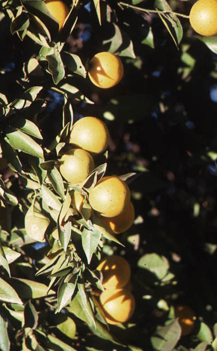This slide is a close up of an orange tree with oranges.  SLIDE CONDITION:  Good