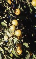 Orange tree with oranges - Close up