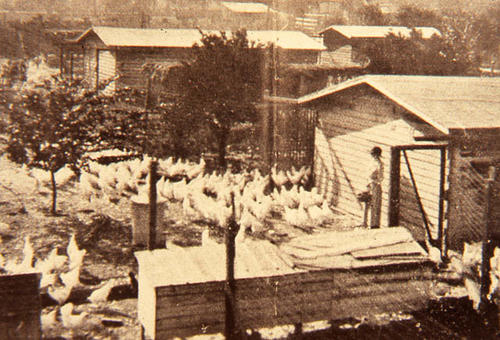 This slide shows an woman feeding chickens in an open area.   SLIDE CONDITION:  This BW image has a slight sepia tone to it.  The image is not very sharp.
