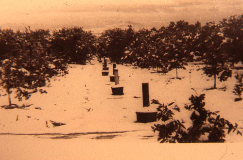 This slide is of a grove with snow blanketing the ground and smudge pots arranged within the rows of the grove.  SLIDE CONDITION:  The image is not real sharp and the film is beginning to deteriorate giving the film an orange cast.