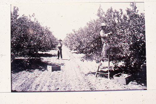 This slide shows two workers picking in a grove.   SLIDE CONDITION:  Very slight color case on this slide due to film deterioration. There is a light circular area on one of the trees.  PRINT CALL No. AGR-cit-010a