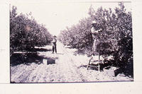 Fruit pickers in an orange grove