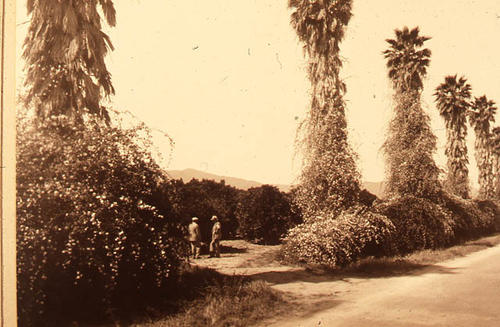 This slide is of two men standing in an orange grove drawfed by a row of date palms.  SLIDE CONDITION:  Slide condition is good.  Picture has a somewhat sepia cast to it.