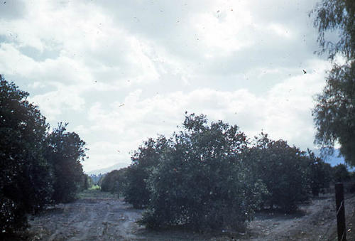 This slide is of a citrus grove on Garretson Avenue, Corona, California taken February 1949.  SLIDE CONDITION:  Good