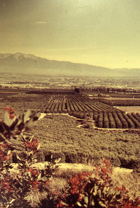 This slide shows an avocado and citrus grove looking toward La Sierra.   SLIDE CONDITION:  Slight color deterioration.