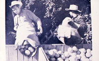 Men dumping oranges in a container
