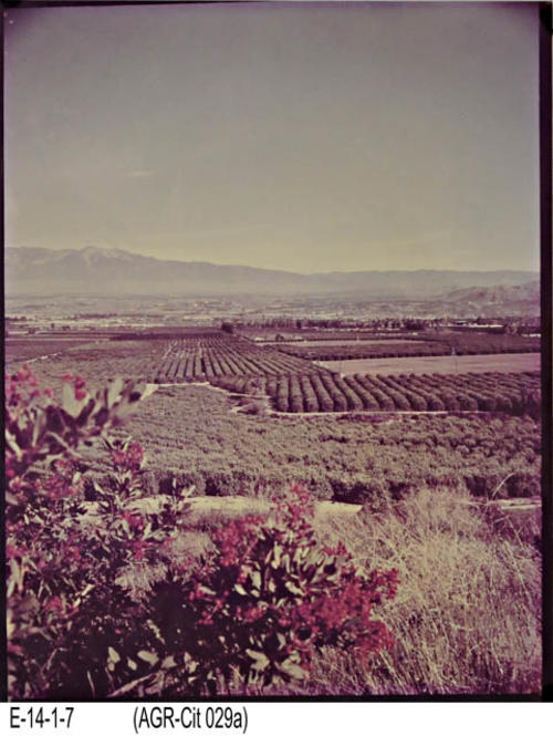 "View of the Corona Valley looking south at the citrus groves. This is a color photograph of a citrus grove. - MEASUREMENTS: 14"" x 11"" - CONDITION:  The colors are fading. -  This photograph is kept in a Mylar sleeve.  -  COPIES:  1"