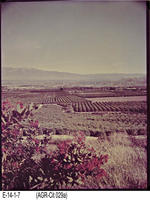 Photo - c. 1984 - Citrus Grove