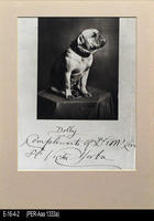 Photo - c. 1890 - Bulldog owned by Victor Yorba