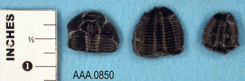 This artifact collection consists of three pieces of fossilized Trilobite from the Paleozoic.