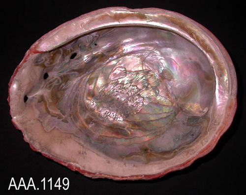 "This artifact is an abalone shell.  It measures 6 3/4"" (L), 6 1/2"" (W), and 2 1/2"" (Thick)."