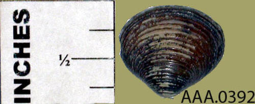This artifact is a very small dark seashell.
