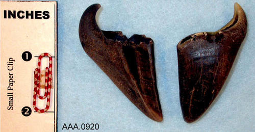 This artifact collection consists of two deer hooves.  Their age and source is unknown.
