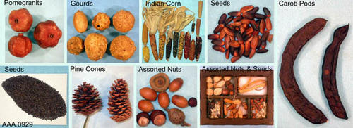 This artifact collection consists of assorted dried plant food:  13 ears of Indian corn, 3 pomegranates, 2 pine cones, 6 grourds, 2 carob pods, 48 seeds, a pile of very small seeds (contained in a small plastic bag), a display box with 5 assorted dried foods, and 10 assorted nuts.  The age and source of this plant material is unknown.