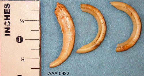 This artifact collection consists of three rodent teeth.  Their age and source is unknown.