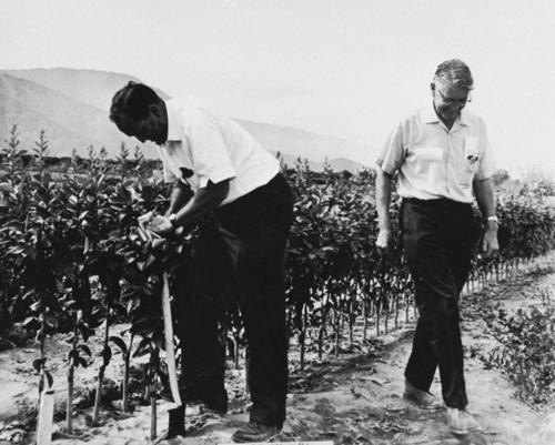 Two men at the Corona Foothill Nursery.  On right: Albert Newcomb. Unknown man on the left.