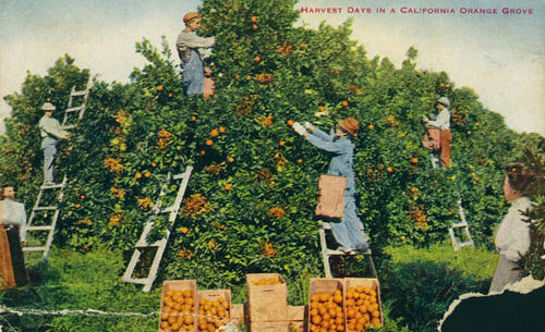 Ppostcard showing workers picking oranges during harvest days.