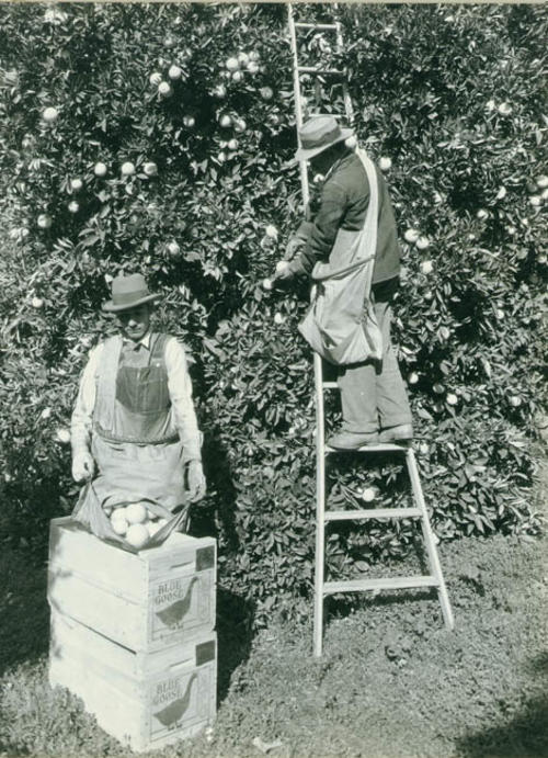 Two workers of Blue Goose Packing House picking oranges in the groves.