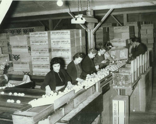 Workers packing lemons at R..H. Verity Sons Co.