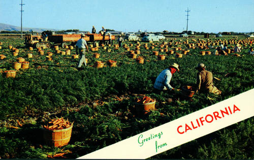 Postcard showing workers picking carrots during the carrot harvest.  Photo taken in California.