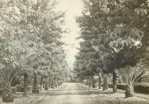 Black and white photograph postcard of a tree lined road.