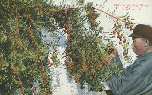 A color photograph postcard labeled Chinese picking Olives in California.