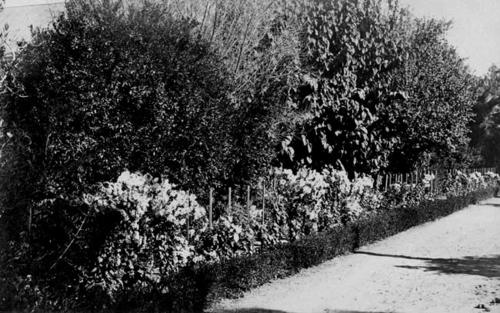 A black and white photograph postcard of plants alongside a road.