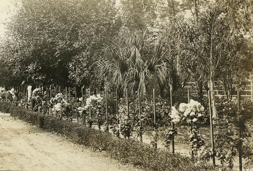 Black and white postcard of flowers lining the side of a road.
